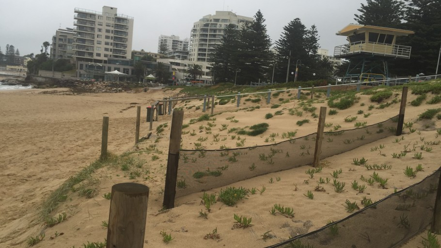IMG 2604: Dune Stabilisation - North Cronulla Beach Project