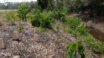 20161209 110906 thumbnail: Mollymoke Farm Creek - Revegetation and Weed Control Project