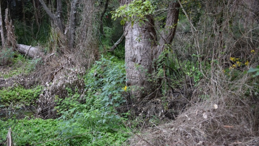 weeds in creek: Mollymoke Farm Creek - Revegetation and Weed Control Project